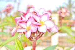 Vibrant Pink Frangipani Flowers Royalty Free Stock Photography