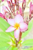 Vibrant Pink Frangipani Flowers Royalty Free Stock Photography
