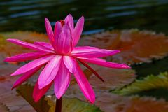 Vibrant pink hybrid water lily in pond surrounded by green pads royalty free stock photos