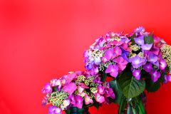 Vibrant Pink Lacecap Hydrangea on Red Stock Photos