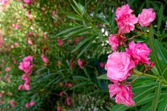 Vibrant pink oleander flowers closeup stock image