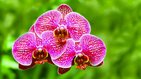 Vibrant pink orchids Royalty Free Stock Photo