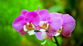 Vibrant pink orchids Royalty Free Stock Photos