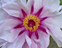 Vibrant pink peony flower closeup Stock Photography