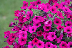 Vibrant Pink Petunias Royalty Free Stock Photos