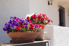 Vibrant pink petunias. Stock Photo