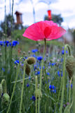 Vibrant Pink Poppy in Field Royalty Free Stock Photo