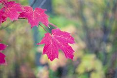 Vibrant pink red maple leaves hanging in autumn forest, closeup. Of one leaf and veins. Vibrant fall scene Royalty Free Stock Photos