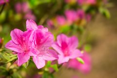 Pretty pink Rhododendron flowers closeup showing flower detail. Vibrant pink Rhododendron blossoms - closeup on blurry background Stock Photography