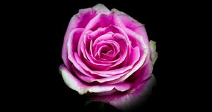Pink Rose Blooming. A Vibrant Pink Rose Blooming. Studio isolated on a black background stock video footage