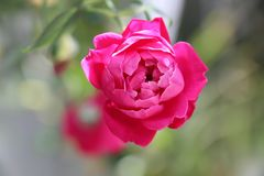 Vibrant pink rose in garden Stock Photos