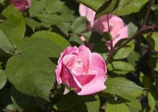 Vibrant Pink Rose. One vibrant pink rose stands out surrounded by greenry and other roses Royalty Free Stock Images