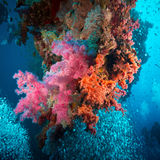 Vibrant pink soft coral (Dendronephthya hemprichi) Royalty Free Stock Image