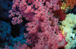 Vibrant pink tree coral. Wonderful soft coral shot near Sharm-el-Sheikh, Red Sea, Egypt stock photo