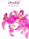 Vibrant pink tropical orchid flower isolated on white Stock Images