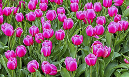 Vibrant pink tulips Royalty Free Stock Image