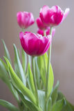 Vibrant pink tulips plant sofly lit by natural light, spring con Stock Photography