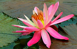 Vibrant pink water lily. Close up of a vibrant pink water lily resting on pads in a tropical pond Royalty Free Stock Photos