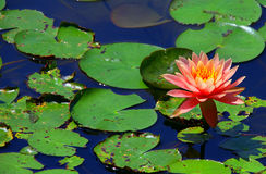 Vibrant pink water lily in pond Stock Photography