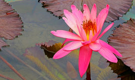Vibrant pink water lily in tropical garden pond Royalty Free Stock Photo