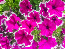 Vibrant pink and white flowers. Bright pink and white flowers in full bloom Stock Photography