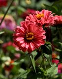 Vibrant Pinkish red  Aster Flower. In close shot at coonoor sims park stock image
