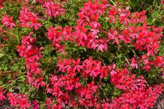 Vibrant pinkish red flowers of ivy-leaved geranium. Vibrant pinkish red flowers of ivy leaved geranium royalty free stock photography