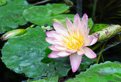 A vibrant pint water lily amongst green lily pads on a pond Stock Photo