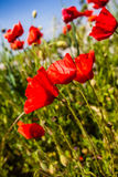 Vibrant poppies Royalty Free Stock Images