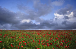 Vibrant poppy fields under moody dramatic sky Stock Photography