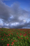 Vibrant poppy fields under moody sky Royalty Free Stock Photos