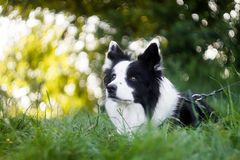 Vibrant portrait of black and white border collie stock images