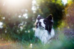 Vibrant portrait of black and white border collie stock photography