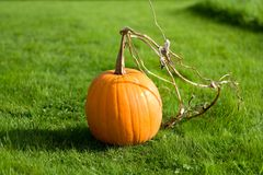Vibrant Pumpkin Stock Images