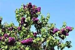 Lilac Bush, Syringa Vulgaris, blossomed with vibrant flowers. Vibrant purple colored blossoms on a lilac bush, Syringa Vulgaris, located in Malone, New York stock photo