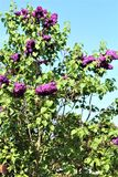 Lilac bush, syringa vulgaris, blossomed with vibrant flowers. Vibrant purple colored blossoms on a lilac bush, Syringa Vulgaris, located in Malone, New York stock images