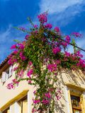 Vibrant purple flowers growing on the corner of the house stock photography