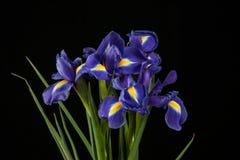 Vibrant Purple Iris On Black Background Royalty Free Stock Photo