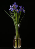 Vibrant Purple Iris On Black Background Stock Photo