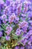 Vibrant Purple lavender macro textured decoration concept background stock photos