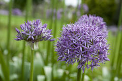 Vibrant Purple Ornamental Onion Flowers Stock Photography