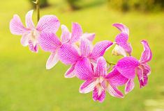 Vibrant purple pink orchid Royalty Free Stock Photography