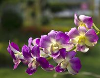 Vibrant purple tropical orchid Royalty Free Stock Photo