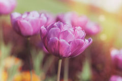 Vibrant purple tulips. A field of purple tulips bloom in the spring, macro selective focus and toned effect Stock Images