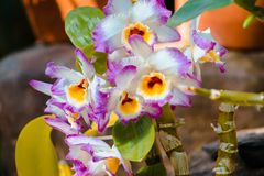 Vibrant purple white and yellow orchids in bloom in a greenhouse stock image