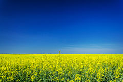 Vibrant rapefield and blue sky. Stock Photo