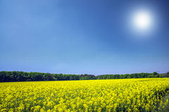 Vibrant rapefield and blue sky. Royalty Free Stock Images