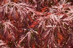 Acer leaves. Vibrant red acer leaves pattern background Royalty Free Stock Image