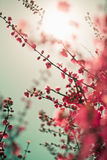 Vibrant red asian sakura background. With sunlight. Low aperture shot, selective soft focus Royalty Free Stock Image