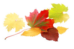 Vibrant red autumn leaf Royalty Free Stock Photo